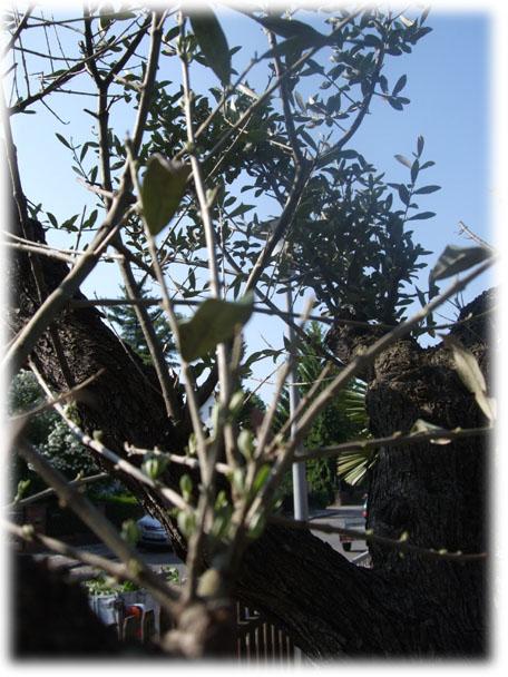 olivenb ume olivenbaum verkauf und vermietung in mannheim. Black Bedroom Furniture Sets. Home Design Ideas